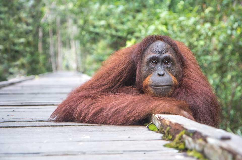 Kalimantan Indonesien Orang Utan