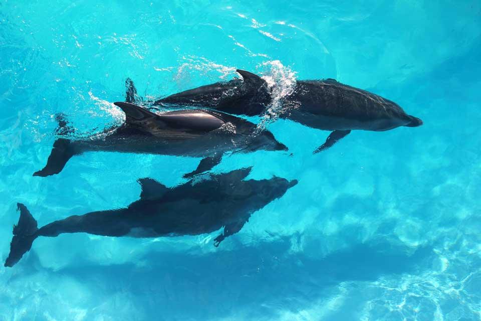 Karibik Grenada Delfine