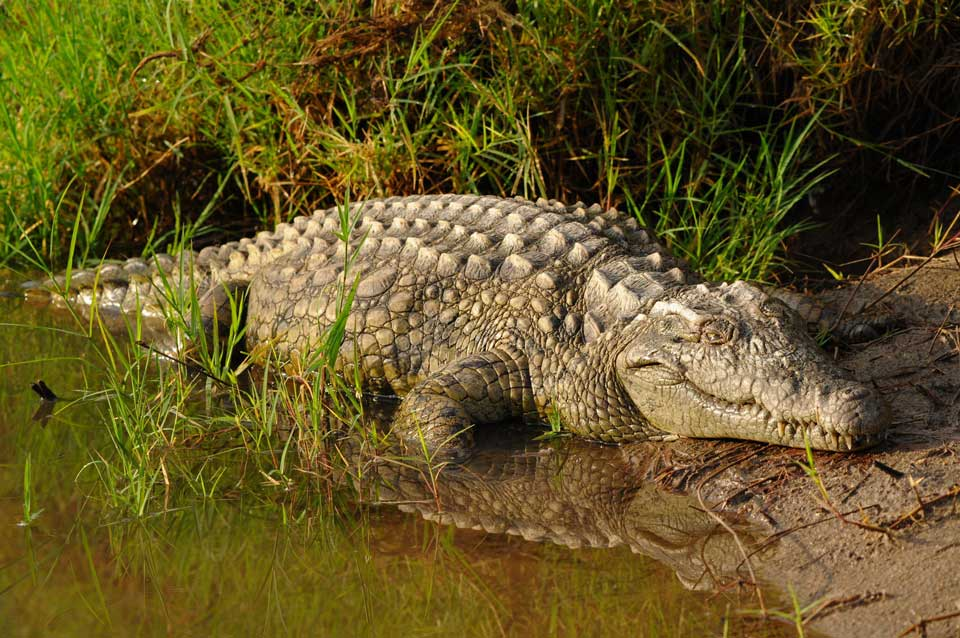 reise nach südafrika krokodil