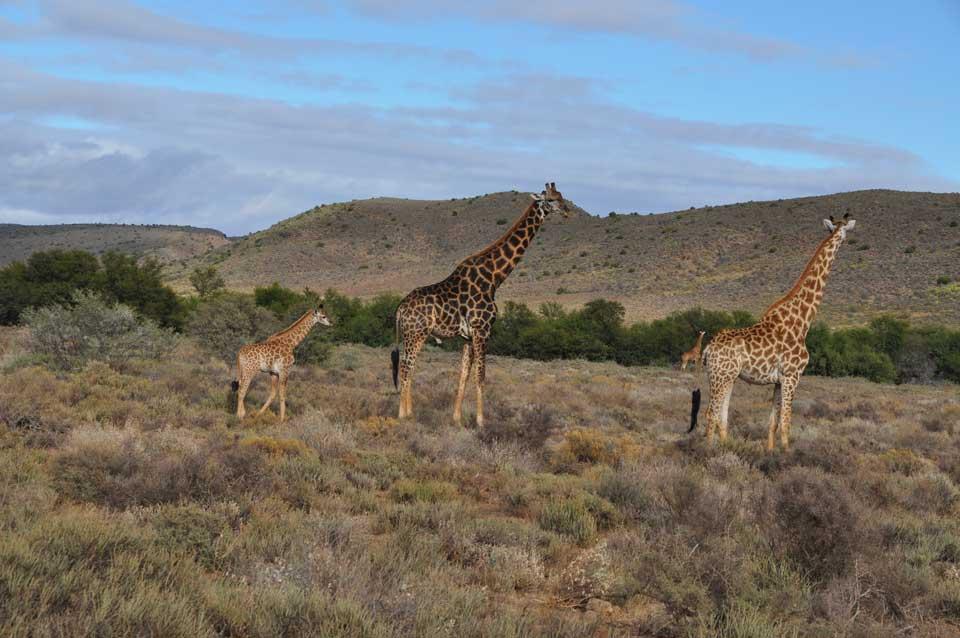 reise nach südafrika giraffen