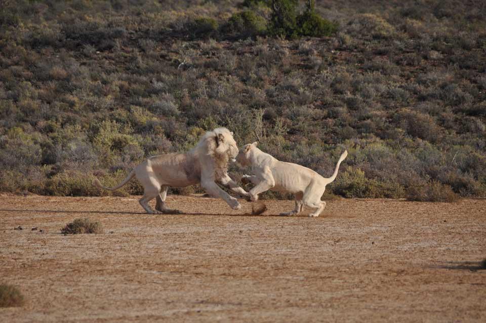reise nach südafrika löwen
