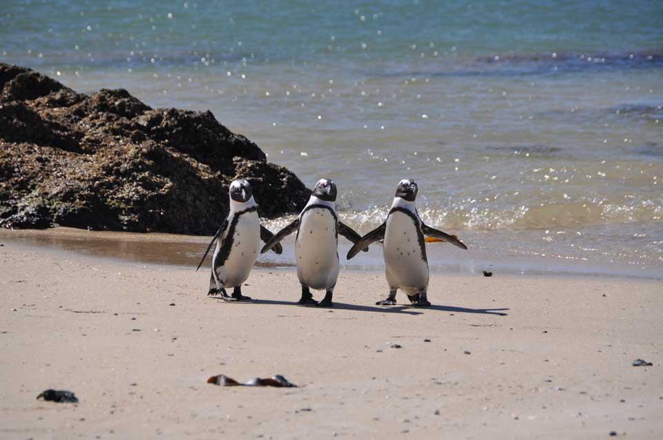 reise nach südafrika pinguine