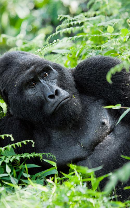 Reise zu den Berggorillas in Uganda