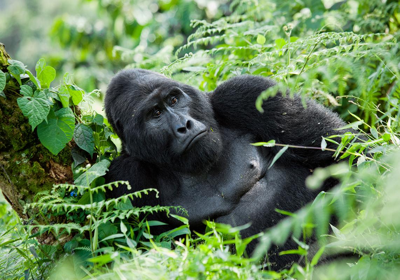 Uganda Reise zu den Berggorillas